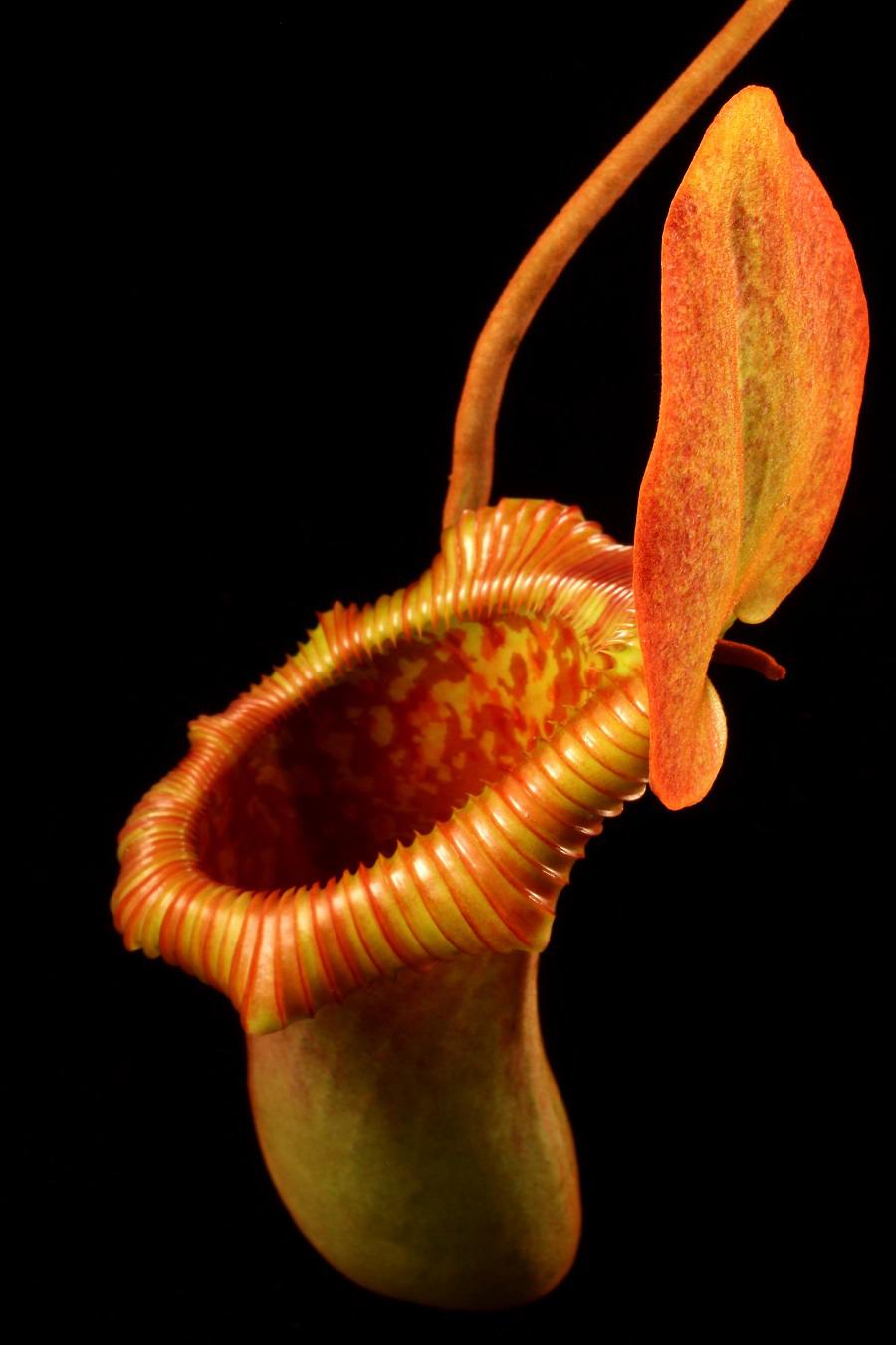 nepenthes-x-trusmadiensis