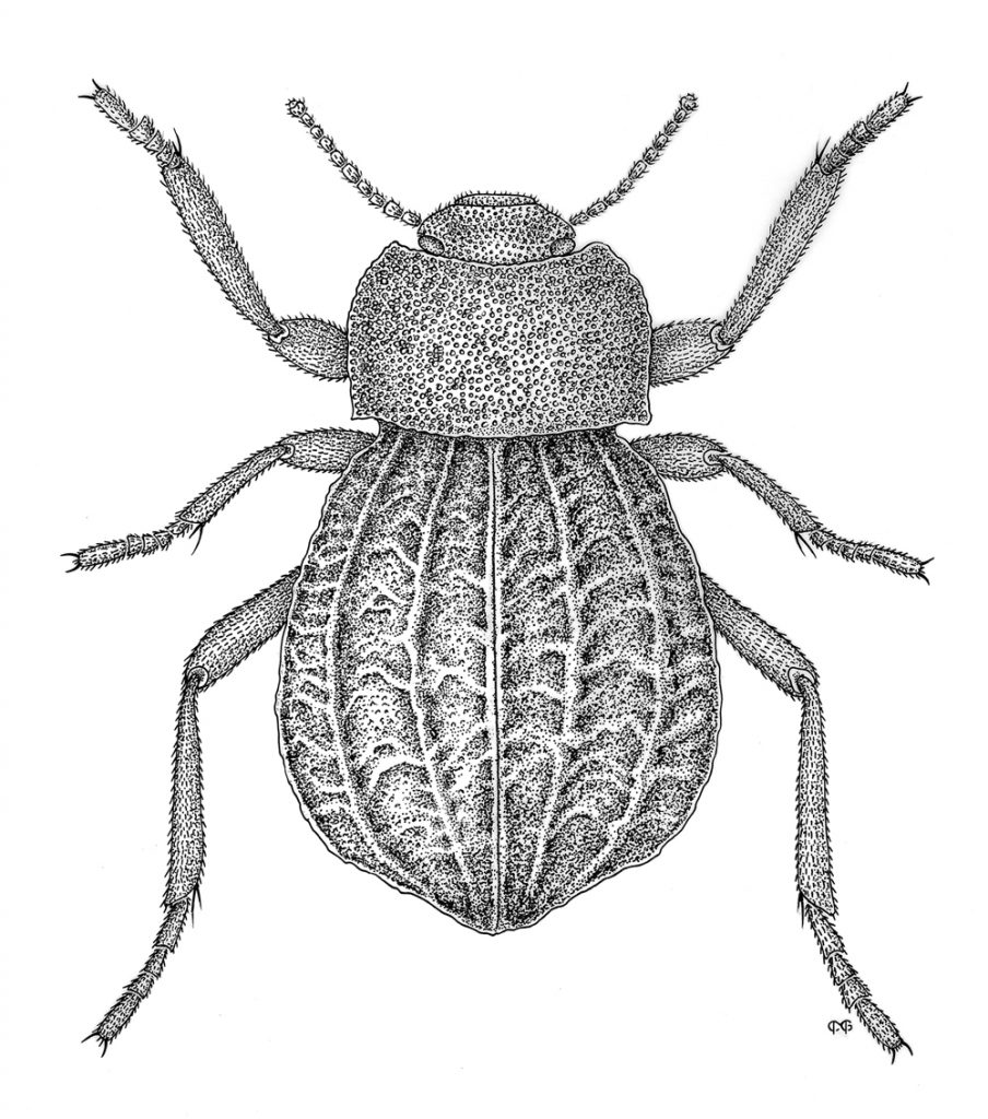 A detailed drawing of a beetle