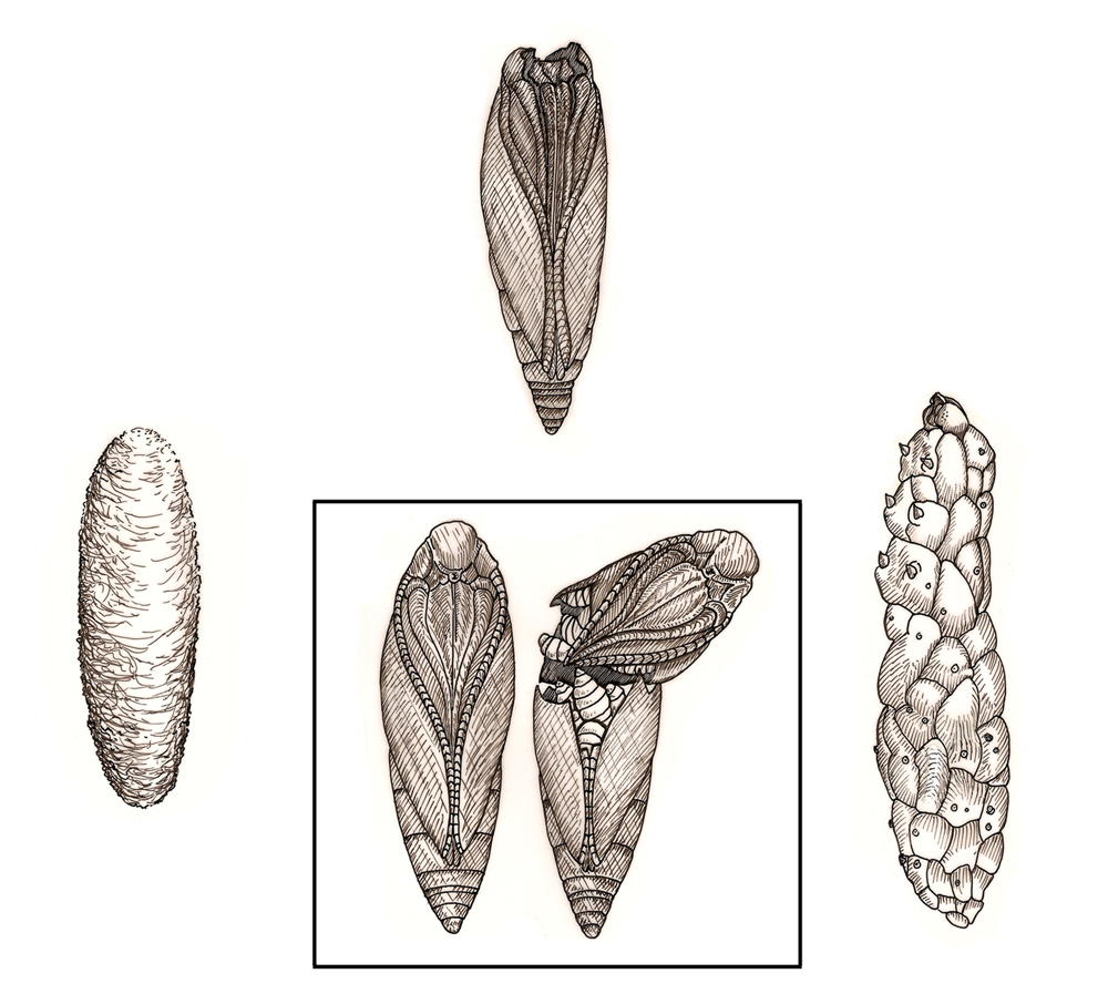 Detailed drawing of goldenrod gall insects in different life stages