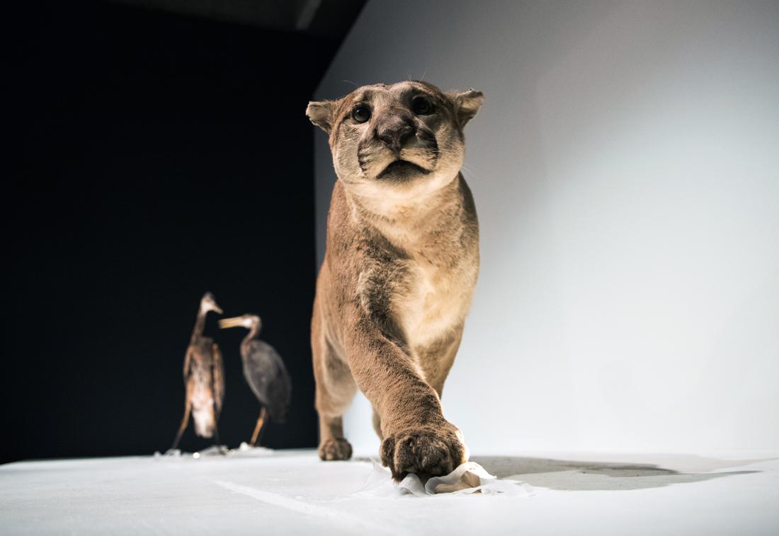 cougar at MOV's encounter room
