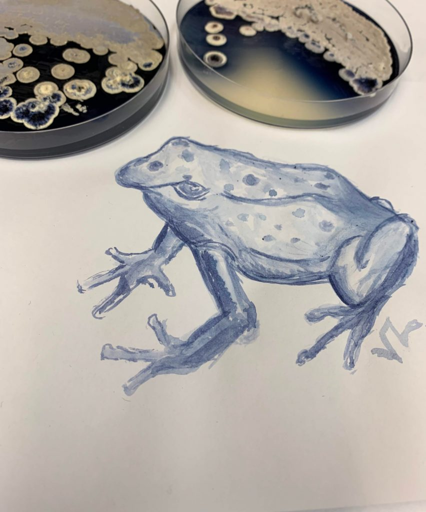 The top of the image contains two Petri dishes with dark blue agar and white bacterial colonies sitting on top of the agar. The lower half is a painting of a blue poison dart frog.