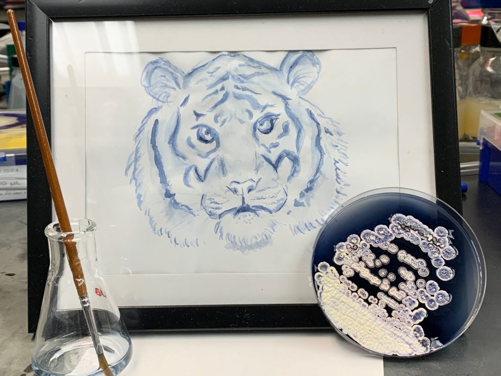 Framed blue painting of a tiger's face. In front are an Erlenmeyer/conical flask holding faintly blue-ish clear liquid and a Petri dish with dark blue agar and white bacterial colonies.