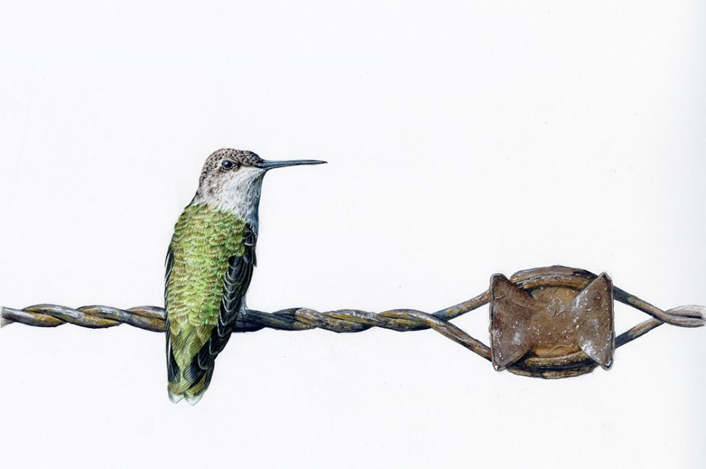 Beryl Hummingbird with green feathers and a grey head sitting on some twisted wire