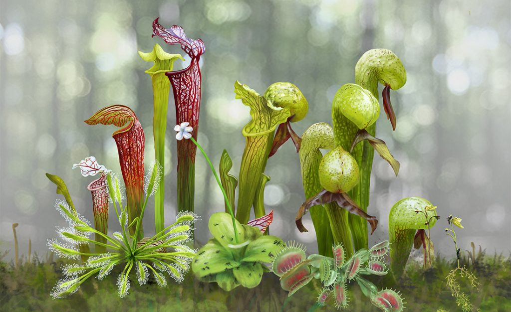 Multiple carnivorous plants, including pitcher plants and Venus flytraps, growing together on the forest floor.