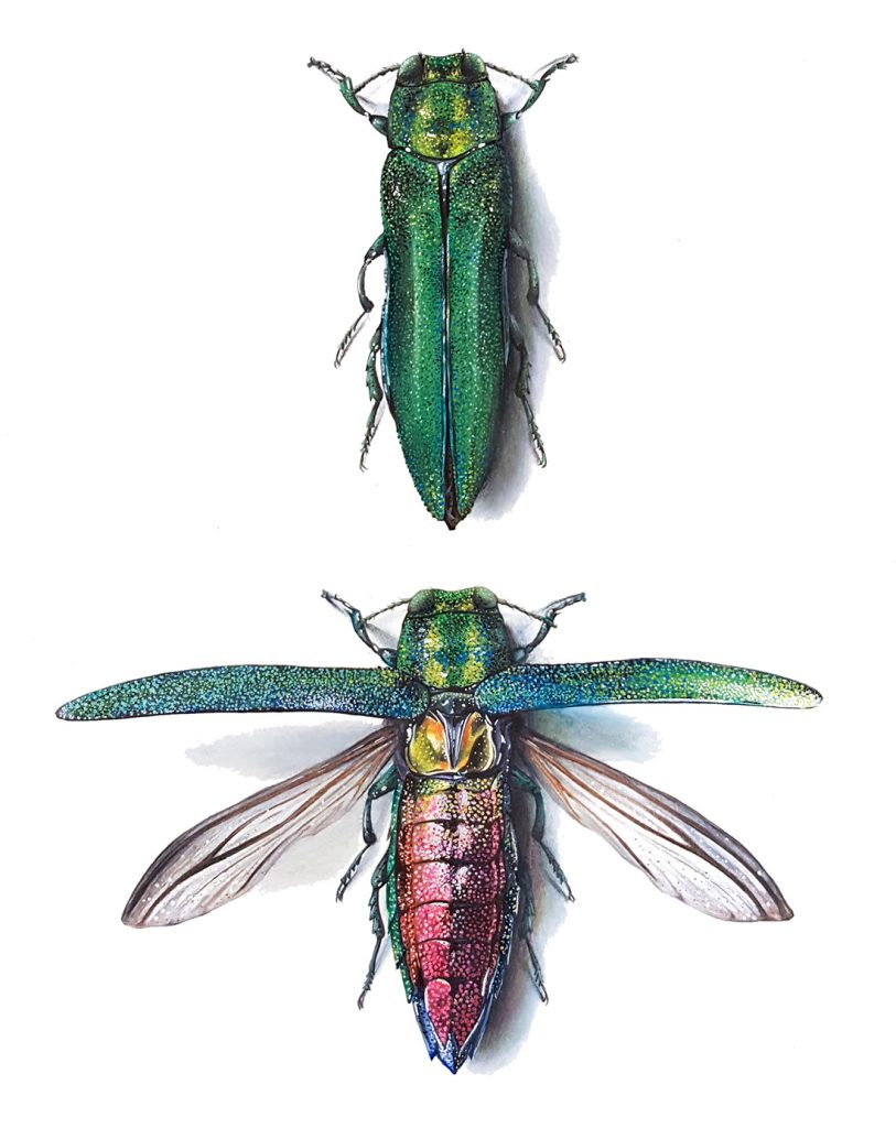 Close-up of an emerald ash borer beetle. Wings are closed in the top image, showing its emerald green exterior, and wings are open in the bottom image, revealing it's reddish coloured body.