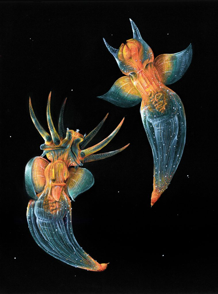 Two sea angels, which are a transparent blue color with some orange regions, floating in a dark black ocean
