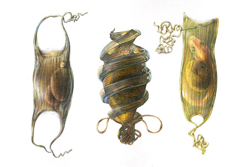 Three images of shark eggs progressing in development from left to right