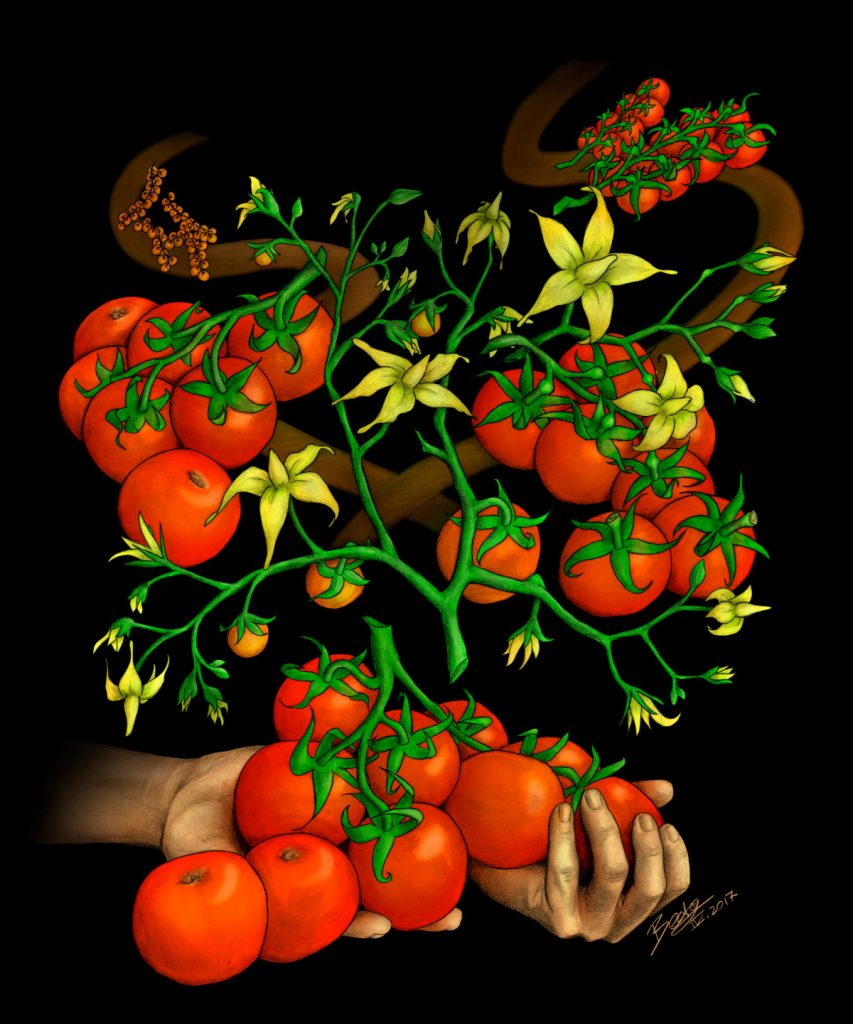 Different forms of tomato plants on two different paths that converge at the bottom of the image. At the bottom, there is a pair of hands holding modern tomatoes on the vine.