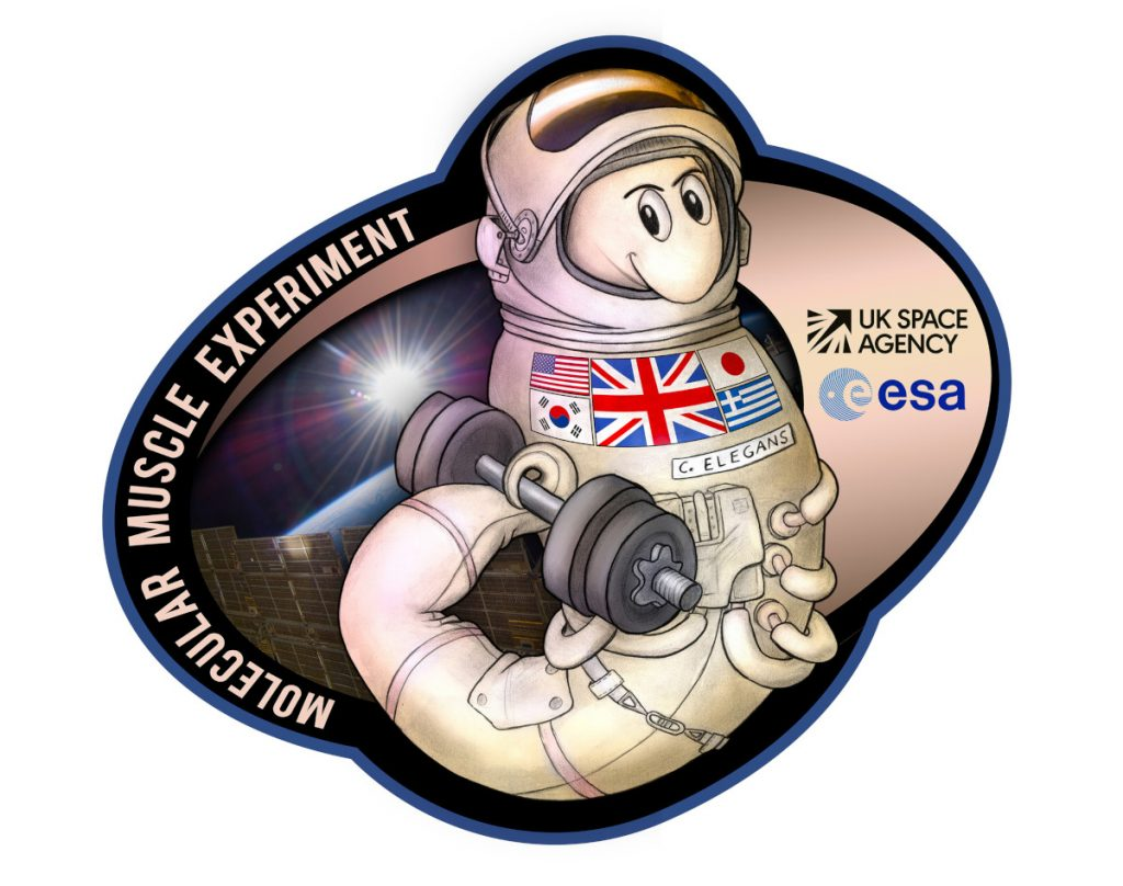 """C. elegans worm in a space suit and holding a free weight with its tail. The left side of the sticker says """"Molecular Muscle Experiment,"""" and the right side has the UK Space Agency and European Space Agency logos."""