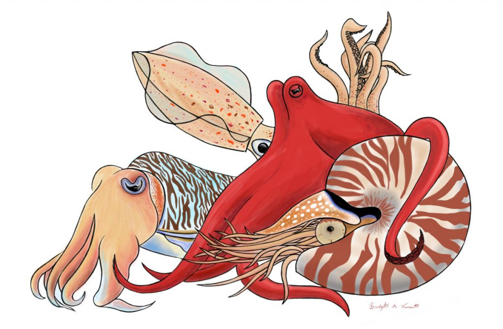 Representatives from the four extant orders of cephalopods, including a cuttlefish, a squid, an octopus, and a nautilus.