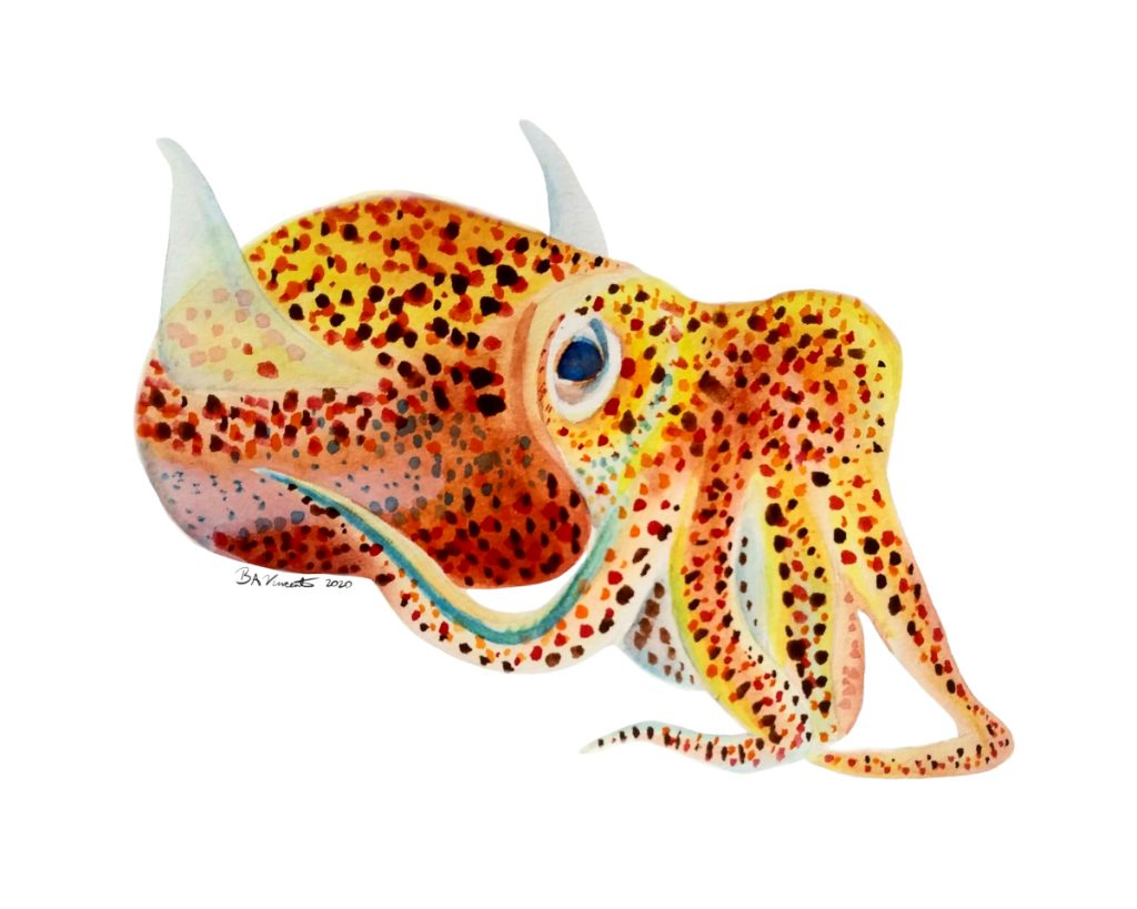 Euprymna scolopes or Hawaiian bobtail squid painted in orange, yellow, and red.