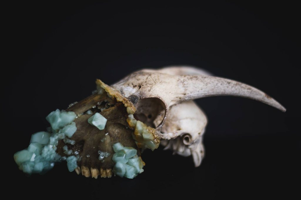 Skull of horned animal with aqua crystals growing from the nose and mouth.