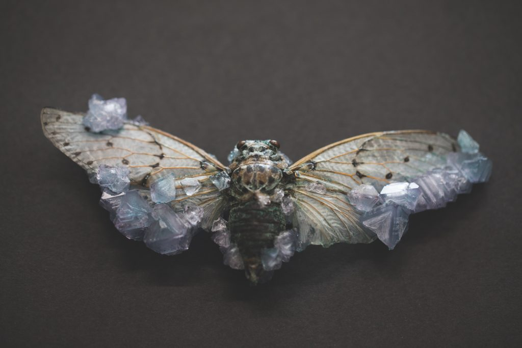 Cicada with large, light purple crystals on edges of wings.