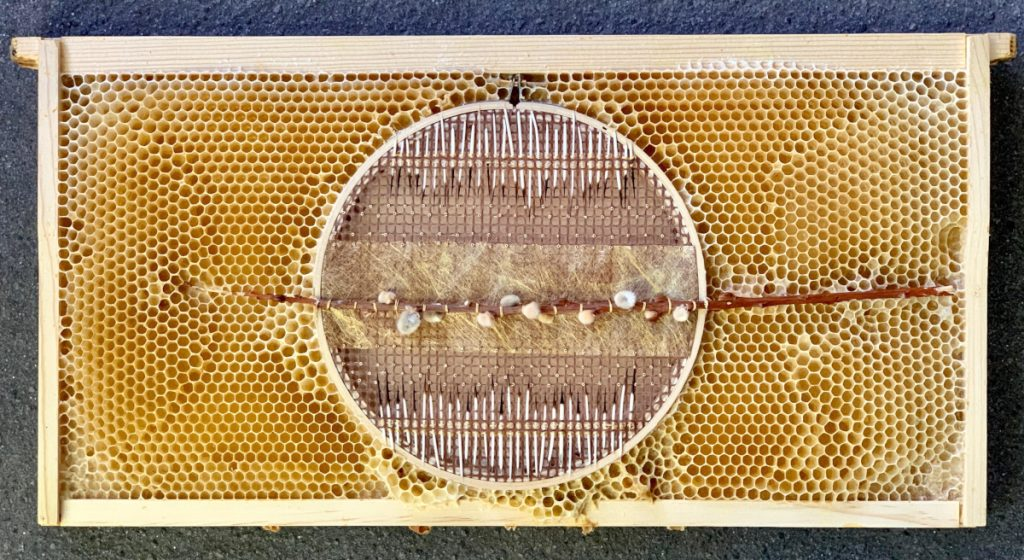 Circular embroidery hoop with thin pussywillow branch down the center and stripes of porcupine quills on either side. The hoop is embedded in honeycomb.
