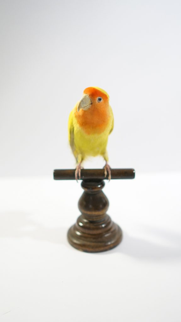 Small yellow bird with orange head sitting on a wooden perch