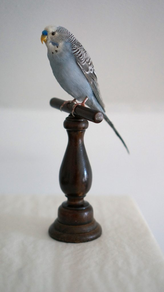Blue parakeet with striped wings sitting on a wooden perch.