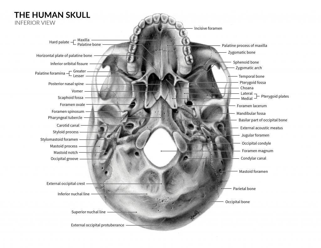 Illustration Skull Anatomy by Avesta Rastan. Illustration of the skull anatomy - Inferior view with markings.