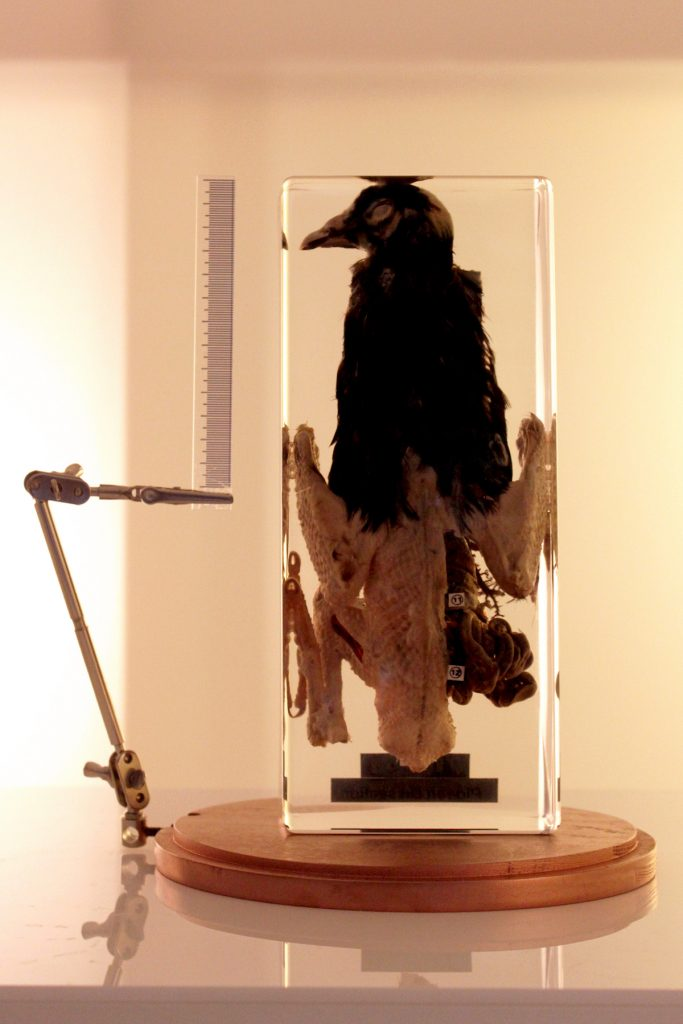 A preserved dissected pigeon inside a glass case.