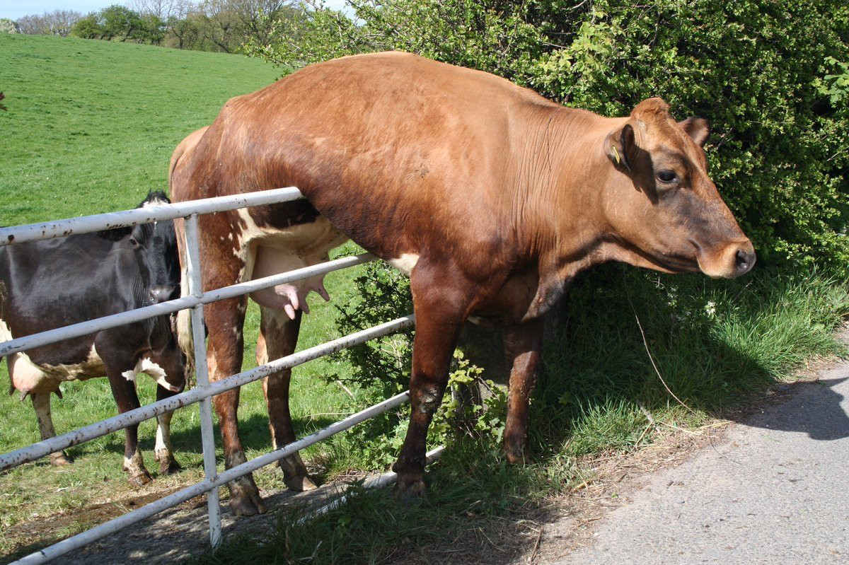A brown cow hangs on a metal fence railing with its hind legs on one side and its front legs on the other. It is surrounded by a green field and shrubbery.