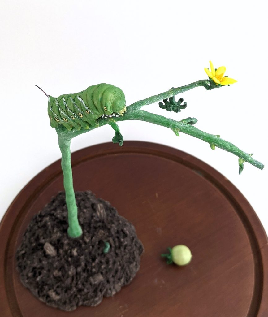 Tobacco Hornworm on Defoliated Tomato Plant