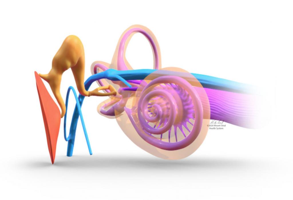 Spiraling tunnels of the inner ear