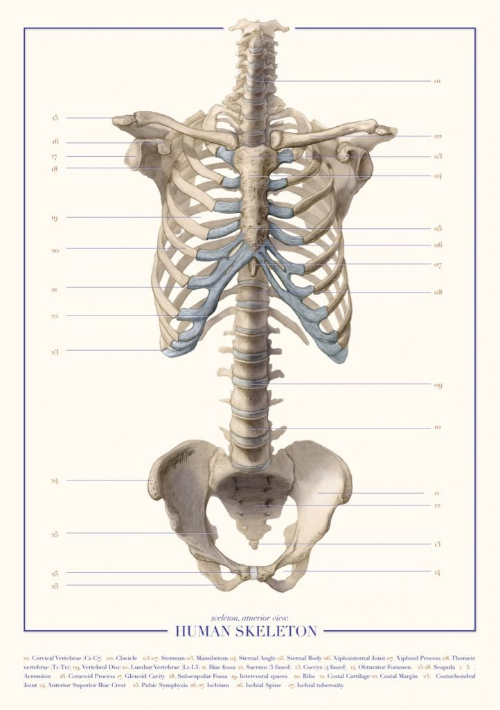 Skeletal illustration (2018) made by Tiffany Fung. A pictorial representation of human skeleton.