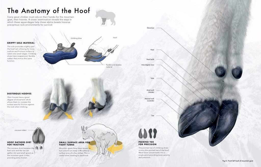 Hoof anatomy infographic (2020) made by Tiffany Fung. Focusing more on the anatomy of hoof.