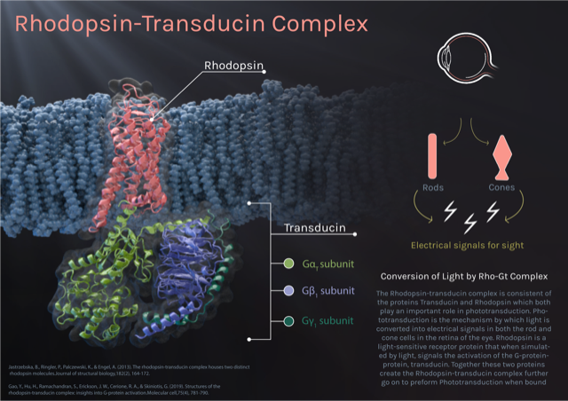 Infographic with rhodopsin protein, made of lots of spiral subunits, sitting in cell membrane. When light hits this protein, it triggers another protein, transducin, within the cell.