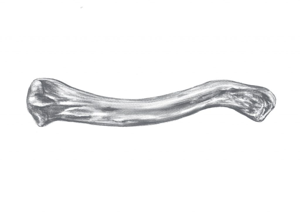Clavicle bone representation by Amie Fernandez