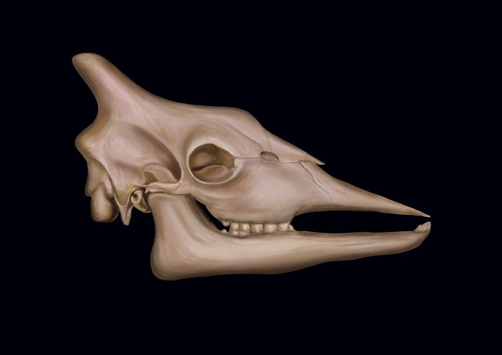 A picture of Giraffe Skull by Amie Fernandez