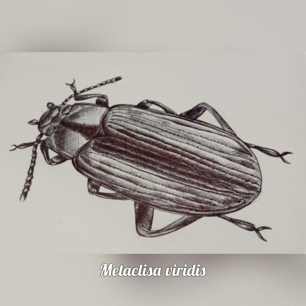 A sketch of Metaclisa viridis (Ink illustration) by Rutuja Chalke