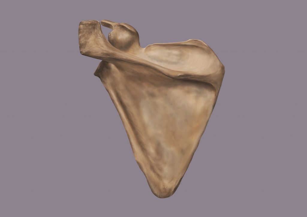Bone image- Posterior Scapula (Credit to University of Dundee)  by Amie Fernandez