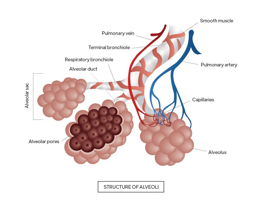 Pictorial representation of Structure of alveoli with outlines highlighting alveolar pores by Rutuja Chalke