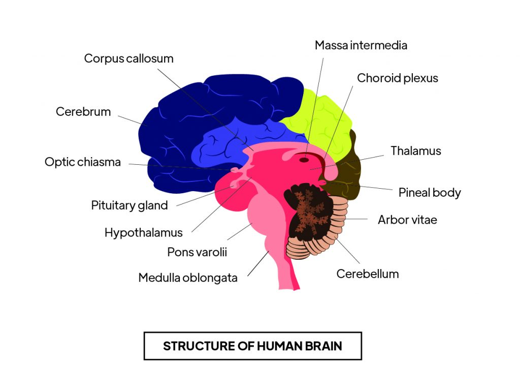 Pictorial representation of structure of human brain with different outlines by Rutuja Chalke