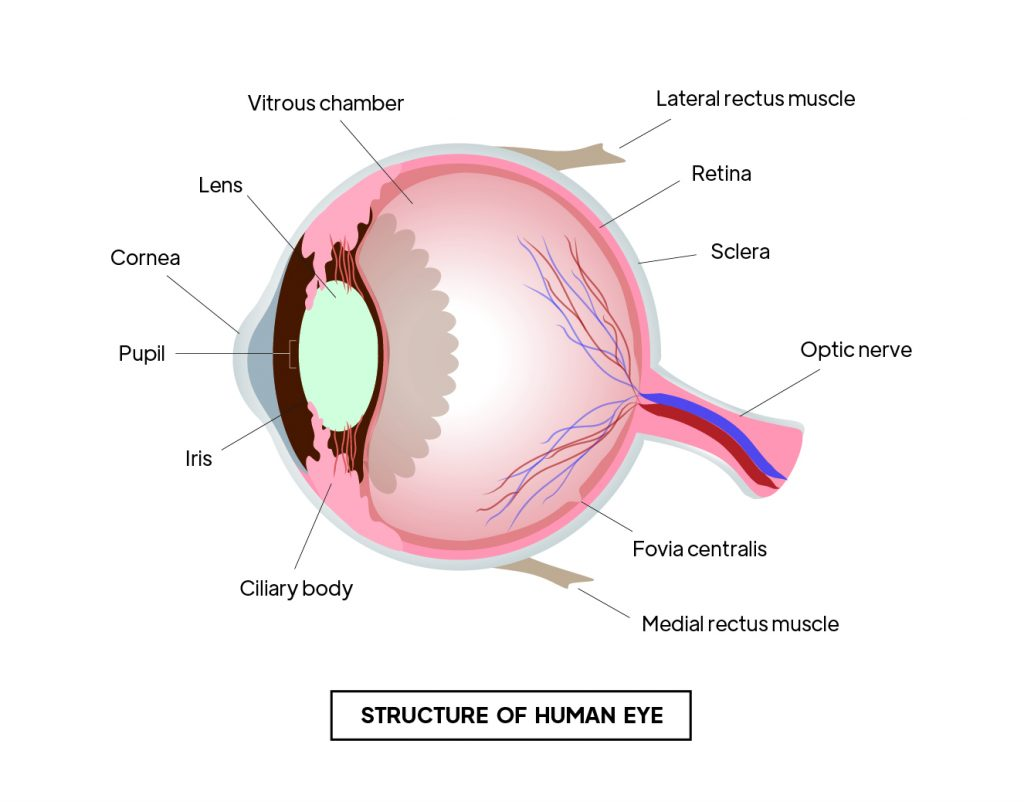 Pictorial representation of structure of human eye with outlines describing every parts of an eye by Rutuja Chalke