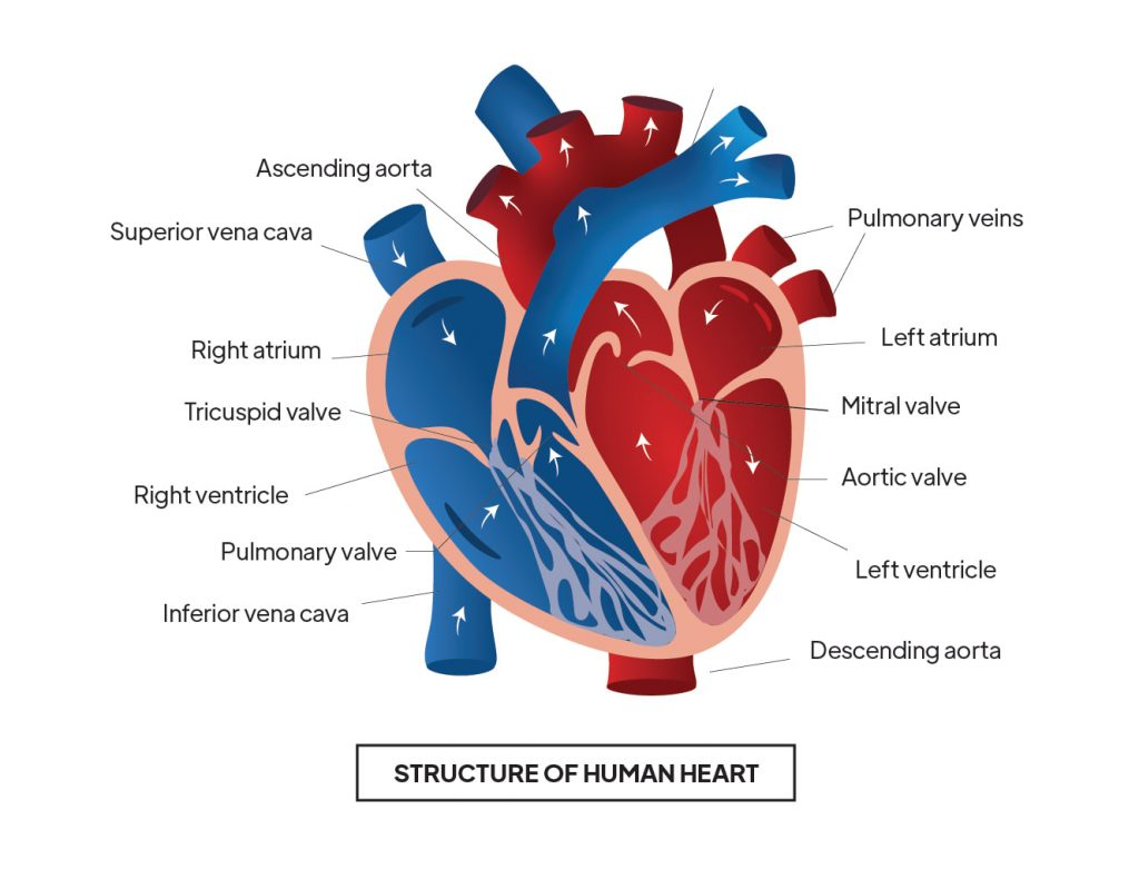 Pictorial representation of Structure of human heart with outlines describing every parts of the heart by Rutuja Chalke