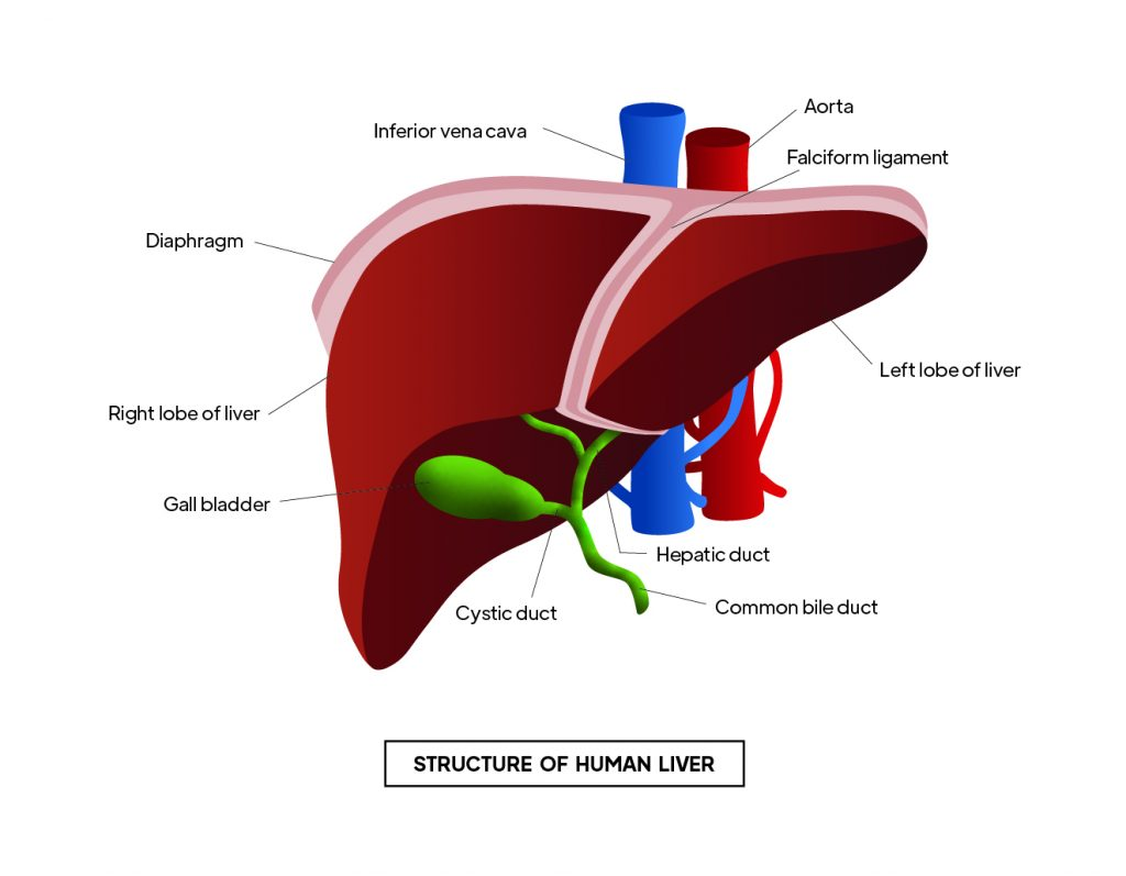 Pictorial representation of  Structure of human liver with outlines describing every parts of the liver by Rutuja Chalke