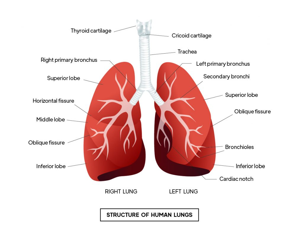 Pictorial representation of  Structure of human lungs with outlines describing every parts of the lungs by Rutuja Chalke  by Rutuja Chalke