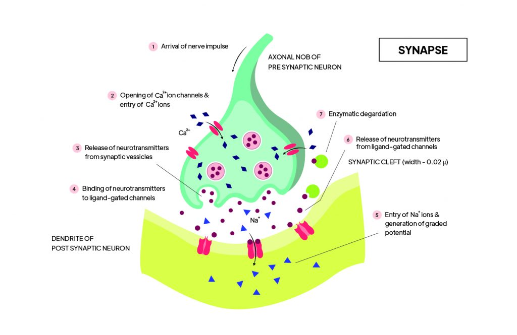 Pictorial representation of  Synapse representation with outlines describing every parts of Synapse by Rutuja Chalke