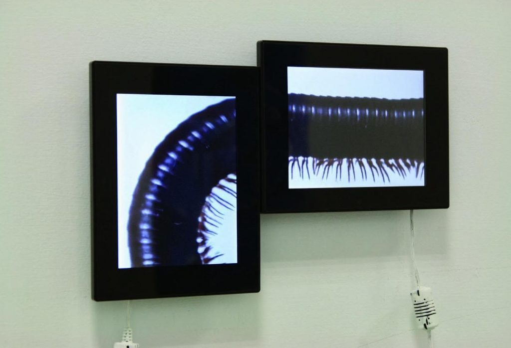 Two adjacent video screens showing segments of a millipede as it crawls around.