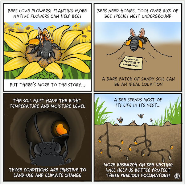 """alt text: A four-panelled comic strip about bees. The first panel features a bee nested in the centre of a yellow flower. Text above it reads """"BEES LOVE FLOWERS! PLANTING MORE NATIVE FLOWERS CAN HELP BEES."""" Text below it reads """"BUT THERE'S MORE TO THE STORY..."""" The second panel shows a bee entering a small mound of soil, on which is a sign saying """"HOME SWEET HOME."""" Text above it reads """"BEES NEED HOMES, TOO! OVER 80% OF BEE SPECIES NEST UNDERGROUND."""" Text below reads """"A BARE PATCH OF SOIL CAN BE AN IDEAL LOCATION."""" The third panel shows the head of a bee as it crawls through the underground tunnel, a honey-coloured glow ahead of it. Text above reads """"THE SOIL MUST HAVE THE RIGHT TEMPERATURE AND MOISTURE LEVEL."""" Text below reads """"THOSE CONDITIONS ARE SENSITIVE TO LAND-USE AND CLIMATE CHANGE."""" The last panel shows a network of underground tunnels made by bees. Some bees are in the tunnels and other bees fly above the surface where grass grows. Text above reads """"A BEE SPENDS MOST OF ITS LIFE IN ITS NEST…"""" Text below reads """"MORE RESEARCH ON BEE NESTING WILL HELP US BETTER PROTECT THESE PRECIOUS POLLINATORS!"""""""