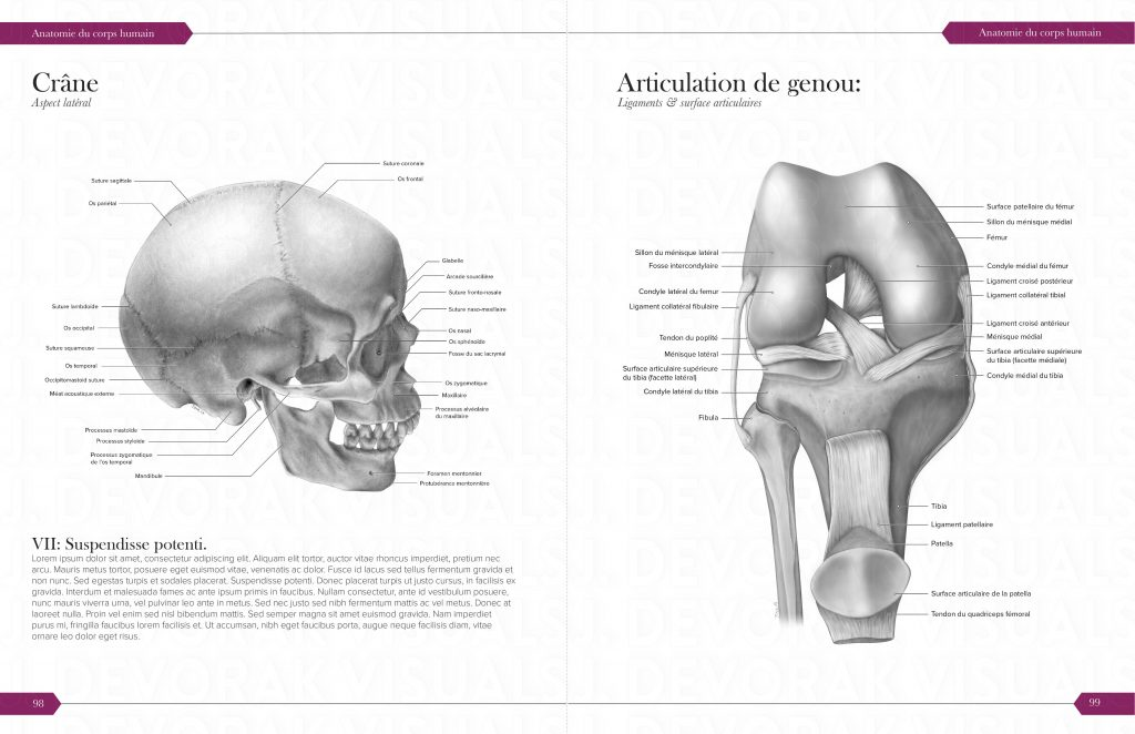 An anatomical illustration. The image consist of a skull with detailed markings