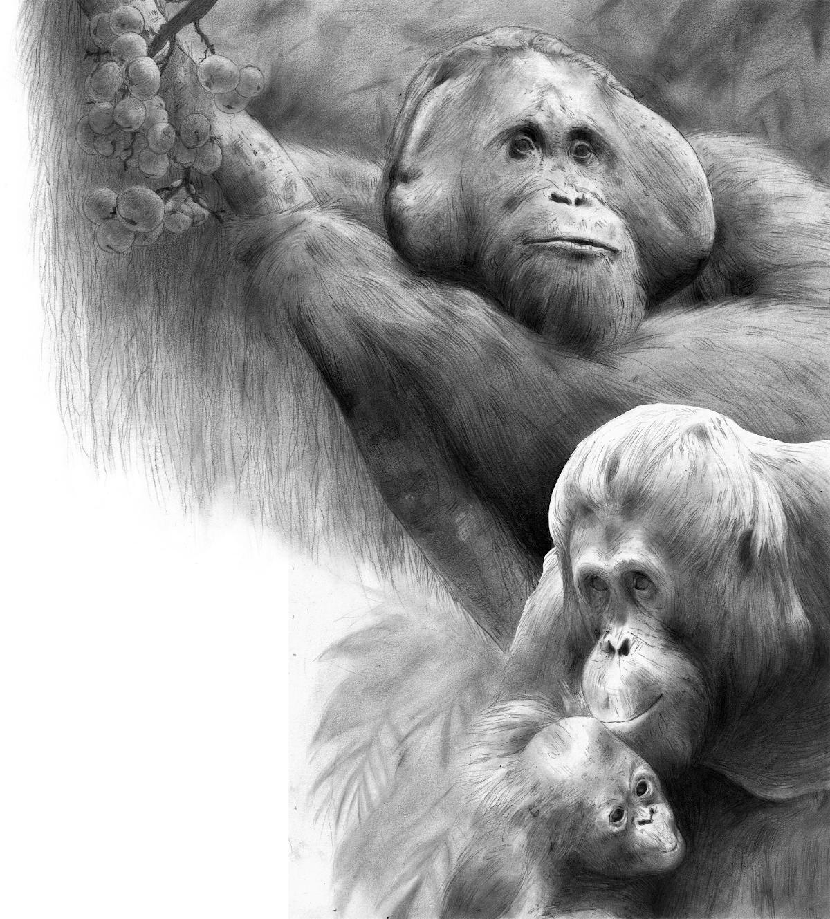 A detailed, lifelike black and white sketch of three orangutans.